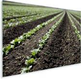 Rijen spinazie groeien in de aarde Plexiglas 30x20 cm - klein - Foto print op Glas (Plexiglas wanddecoratie)
