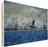 Blauwvleugeltaling tijdens de vlucht Vurenhout met planken 60x40 cm - Foto print op Hout (Wanddecoratie)