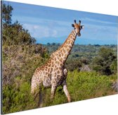 Giraffe in de natuur Aluminium 60x40 cm - Foto print op Aluminium (metaal wanddecoratie)