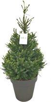 Kerstboom. Deze kerstbomen zijn opgepot met kluit. Kerstboom kant en klaar aangeleverd in sierpot. Picea Omorika, Servische Spar met kluit en sierpot.