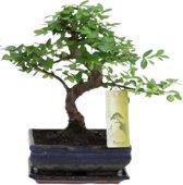 Bonsaiworld Chinese Bonsai Boom - S vormig - In keramieken schaal + lekschotel - Hoogte ↕ 20 - 30 cm