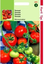 Tomaten Moneymaker - Lycopersicon lycopersicum - set van 8 stuks