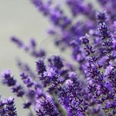 25 x Lavandula Hidcote - Lavendel in 9x9cm pot (stukprijs € 2,20)