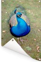 Close-up van een blauwe pauw Tuinposter 40x60 cm - klein - Tuindoek / Buitencanvas / Schilderijen voor buiten (tuin decoratie)