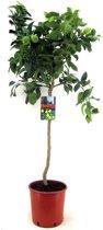 Citroenboom op stam L   Hoogte 90cm