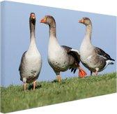 Grauwe ganzen Canvas 30x20 cm - klein - Foto print op Canvas schilderij (Wanddecoratie woonkamer / slaapkamer) / Dieren Canvas Schilderijen
