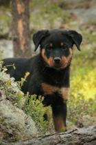 Totally Adorable Little Rottweiler Puppy Dog Pet Journal