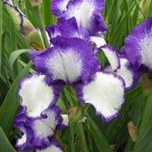 6 x Iris 'Loop The Loop' - Baardiris pot 9x9cm