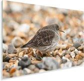 Paarse strandloper loopt over het strand Plexiglas 30x20 cm - klein - Foto print op Glas (Plexiglas wanddecoratie)