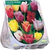 Tulipa (Tulpen) bloembollen - Crispion Sweet - Dubbel - Gefranjerd - 2x15 stuks