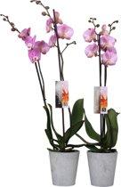 Orchidee van Botanicly   Orchidee roze   Hoogte: 65 cm    Phalaenopsis 'Luxor'