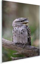 Uilnachtzwaluw op een tak Plexiglas 60x90 cm - Foto print op Glas (Plexiglas wanddecoratie)