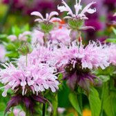 6 x Monarda 'Beauty Of Cobham ' - Bergamotplant pot 9x9cm