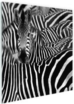 Zebra zwart-wit  Glas 30x20 cm - klein - Foto print op Glas (Plexiglas wanddecoratie)
