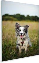 Border Collie hond liggend in het mooie gras Plexiglas 120x180 cm - Foto print op Glas (Plexiglas wanddecoratie) XXL / Groot formaat!