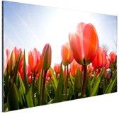 Rode tulpen in de zon Aluminium 180x120 cm - Foto print op Aluminium (metaal wanddecoratie) XXL / Groot formaat!