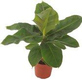 Bananenplant (Musa) - plant is 40 cm hoog