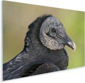 Een portret van een zwarte gier Plexiglas 180x120 cm - Foto print op Glas (Plexiglas wanddecoratie) XXL / Groot formaat!