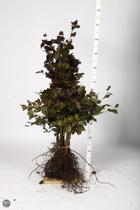 Rode beukenhaag - 200 stuks Rode beuk (Fagus sylvatica 'Atropunicea') 60-80 cm
