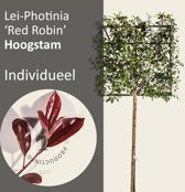 Lei-Photinia - Hoogstam - individueel geen extra's