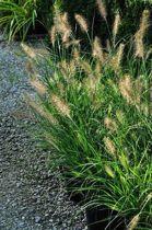 12 stuks Pennisetum alopecuroides Hameln in p9 pot - het mooiste siergras - Lampenpoetsersgras