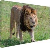 Lopende leeuw Canvas 120x80 cm - Foto print op Canvas schilderij (Wanddecoratie woonkamer / slaapkamer) / Dieren Canvas Schilderij