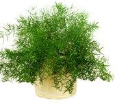 Asparagus Plant met Sieroverpot 14cm pot.