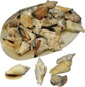 Puntige decoratie schelpen in grote schelp