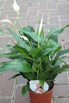 Spathiphyllum Alana - lepelplant - Kamerplant - Interieur of Kantoor Plant - 40 cm