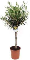 Olijfboom op stam M | Hoogte 85cm