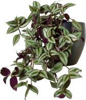 Tradescantia Zebrina Hangplant. Leuk voor huiskamer of kantoor