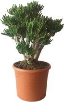 Crassula Hobbit Fijn (pot 30 cm)