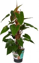 Philodendron Red Emerald 80 cm mosstok