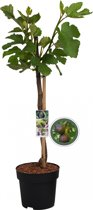 Vijgenboom op stam - Ficus Carica - 85 cm