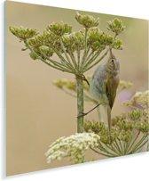 Een tjiftjaf op zoek naar insecten Plexiglas 20x20 cm - klein - Foto print op Glas (Plexiglas wanddecoratie)