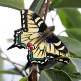 Vlindermagneet koninginnepage - set van 4 stuks