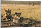 Plexiglas –Leeuwen– 60x40cm (Wanddecoratie van Plexiglas)
