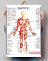 Menselijk lichaam - spieren voor  - Poster 61 x 91.5 cm