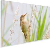 Kleine karekiet zittend op een takje in de Duitse staat Hessen Plexiglas 180x120 cm - Foto print op Glas (Plexiglas wanddecoratie) XXL / Groot formaat!