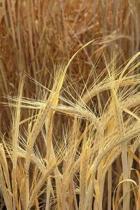 Farm Journal Barley Growing Field
