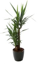 Kamerplant - Yucca - ↑ 90-45-20 - inclusief antraciete pot