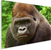 Close-up van het gezicht van een mannelijke gorilla Plexiglas 80x60 cm - Foto print op Glas (Plexiglas wanddecoratie)