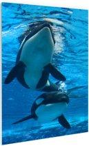 Twee orkas onder water Glas 60x90 cm - Foto print op Glas (Plexiglas wanddecoratie)
