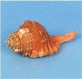 Decoratie schelp 8 cm