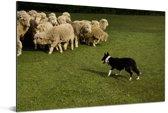 Border Collie die de schapen in een groen weiland hoedt Aluminium 60x40 cm - Foto print op Aluminium (metaal wanddecoratie)