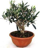 Olijfboom bonsai | 50cm