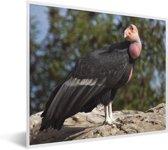 Foto in lijst - Een Californische condor op een rots in de zon fotolijst wit 50x40 cm - Poster in lijst (Wanddecoratie woonkamer / slaapkamer)