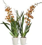 Orchideeën van Botanicly | 2 × Orchidee oranje incl. bloempot wit als set | Hoogte: 60 cm  | Cambria Burrageara 'Catatante'