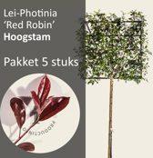 Lei-Photinia - Hoogstam - pakket 5 stuks +EXTRAS !
