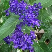 Caryopteris Clandonensis 'Heavenly Blue' - Blauwe Spirea 25-30 cm in pot